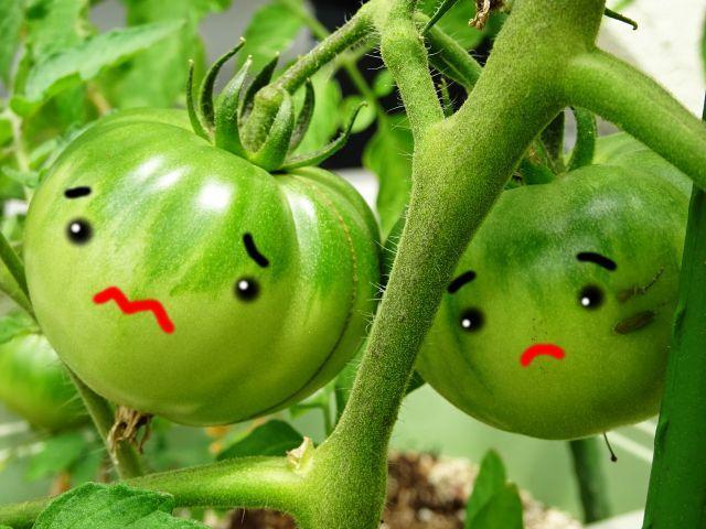 トマトが赤くならず青い・黒いのは病気!? 対策が知りたい!