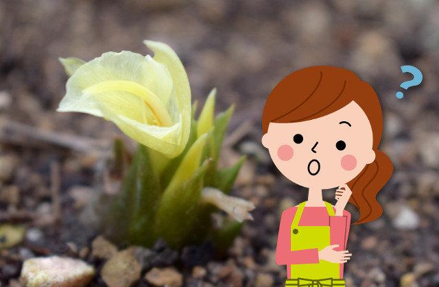 茗荷の花や葉、茎は食べられるの?おいしい食べ方を教えて!