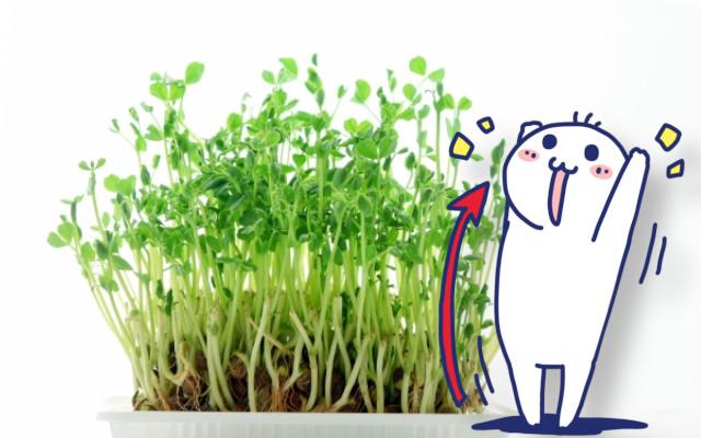 豆苗って大きくなるとどうなるの?家庭で栽培できるの?