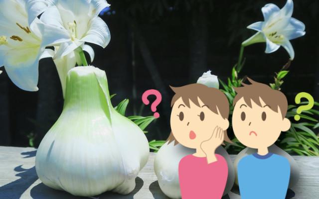 ジャンボニンニクと普通のニンニクの違いは何?