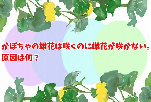 かぼちゃの雄花は咲くのに雌花が咲かない。原因は何?
