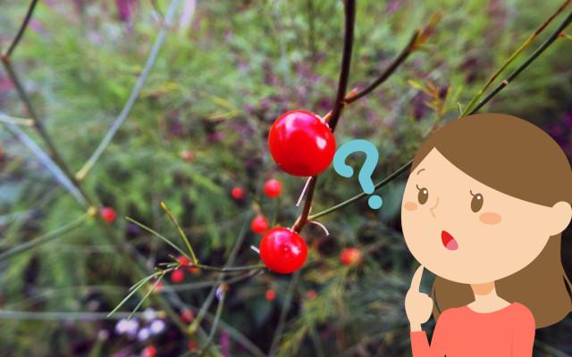 アスパラガスに赤い実がついた!この実を蒔けばアスパラガスは育つの?