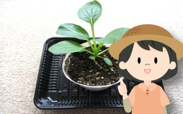 小松菜を育てる時、間引きは必要?間引きしないとどうなるの?
