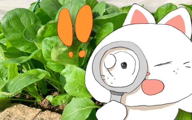 小松菜に黒い虫が!もう食べられない?虫食いを防ぐ育て方ってあるの?